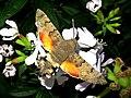 Macroglossum stellatarum (Sphingidae) (Humming-bird Hawk Moth) - (imago), Lent, the Netherlands - 2.jpg