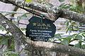 Magnolia cylindrica - Mount Sanqing 2015.09.08 10-48-59.jpg