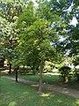 Magnolia kobus, 2020 Marcali.jpg