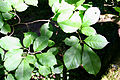 Magnolia kobus 'Borealis' JPG1b.JPG