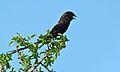 Magpie Shrike (Corvinella melanoleuca) (6002315282).jpg