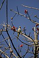 Malabar Parakeet from Anamalai Tiger Reserve JEG1639.JPG