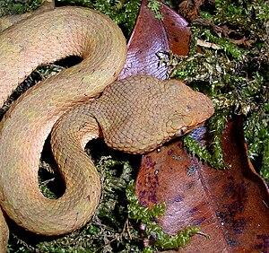 Trimeresurus malabaricus - T. malabaricus, brown morph.