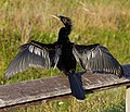 Male anhinga with open wings (9146965693).jpg