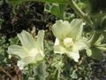 Malva-agrigentina-fiori.png
