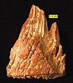 Mammuthus Tooth Side View Pleistocene Ohio.jpg