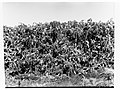 Man standing in a field of prickly pear(GN13412).jpg
