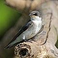 Mangrove swallow (Tachycineta albilinea) immature.jpg