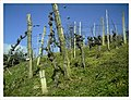 March Vine Denzlingen - Master Season Rhine Valley Photography - panoramio.jpg