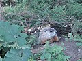 Marmot at Saint Helen's Island in Montreal 01.jpg