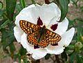 Marsh fritillary - Flickr - gailhampshire.jpg