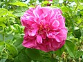 Martha Washington Rose (4564200789).jpg