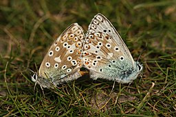 Mating Chalkhill Blues (7727616050)