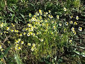 Matricaria chamomilla sl4.jpg
