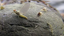 Mayfly sitting on a rock.JPG