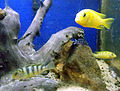Maylandia lombardoi and Aulonocara sp Hybride at meenalokam 01.jpg