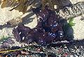 Mazzaella splendens, Iridescent (or rainbow) seaweed.jpg
