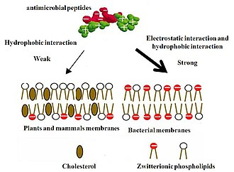 Antimicrobial peptides - Image: Mechanim of Selectivity of Antimicrobial Peptides