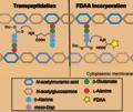 Mechanism of FDAA labeling.png