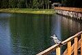 Megaceryle torquata (Quemchi, Chile).jpg