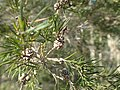 Melaleuca alternifolia fruits.jpg