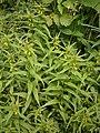 Melampyrum sylvaticum RHu 01.JPG