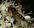Meliscaeva.auricollis3.jpg