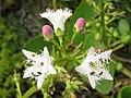 Menyanthes trifoliata Bobrek trójlistkowy 2010-05-15 01.jpg