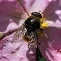 Merodon equestris var. equestris - Narcissus Fly (male) - Flickr - S. Rae.jpg