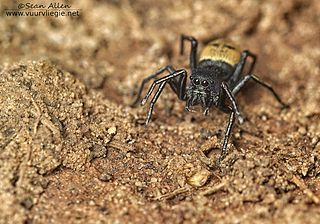 <i>Mexcala</i> Genus of spiders