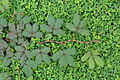 Mimosa pudica 00277.JPG