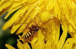<i>Misumena vatia</i> species of arachnid