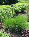 Molinia caerulea 'Sirene' - Savill Garden - Windsor Great Park, England - DSC06160.jpg