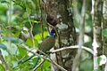 Momotus subrufescens, Panama 2.jpg