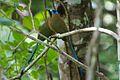 Momotus subrufescens, Panama 3.jpg