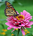 Monarch Butterfly Pink Zinnia 1800px edit.jpg