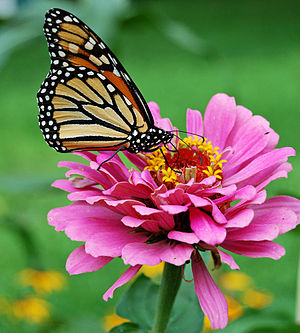 butterfly pictures genus species - Monarch