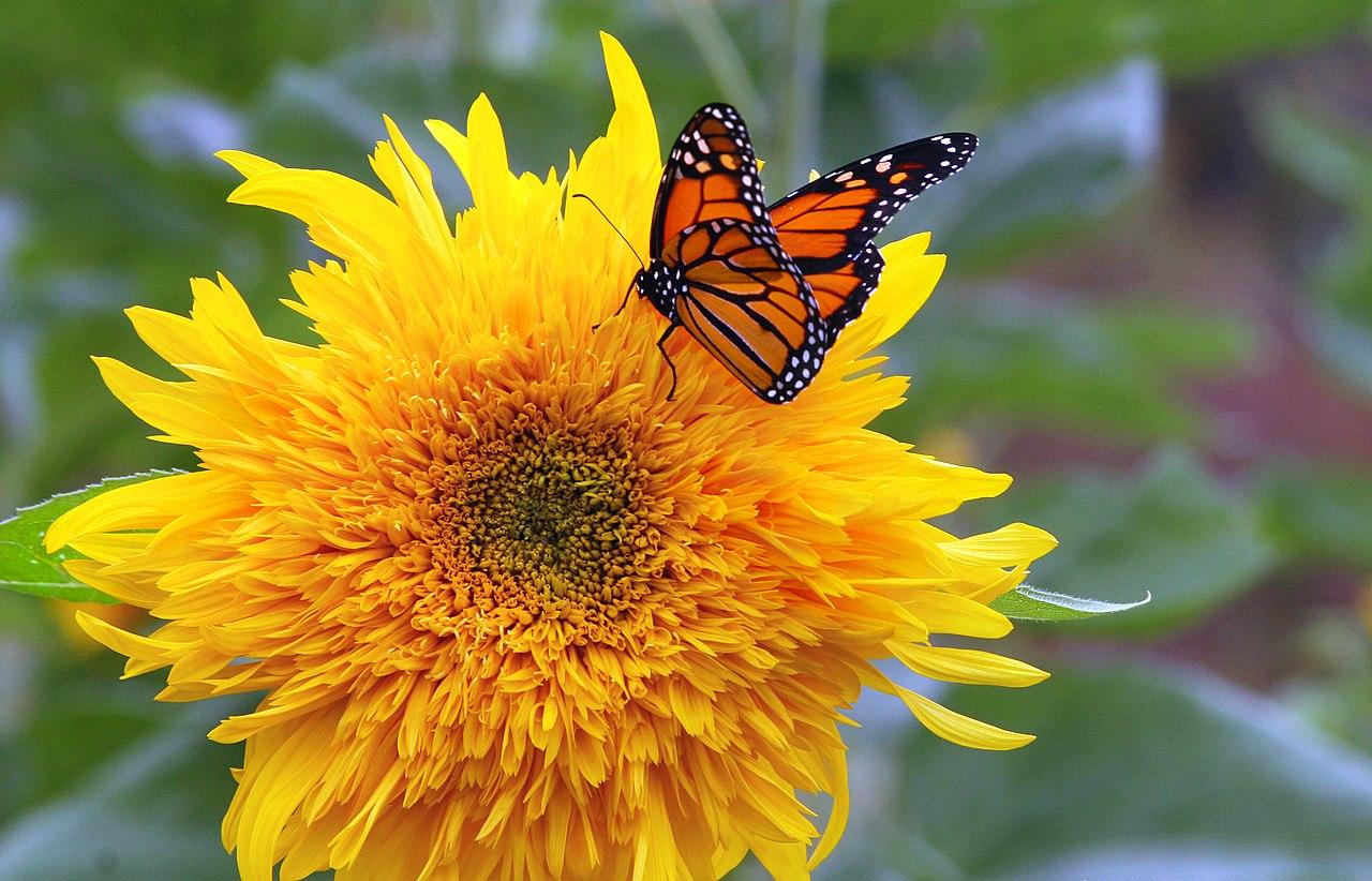 File:Monarch butterfly on shaggy sunflower.jpg - Wikimedia ...