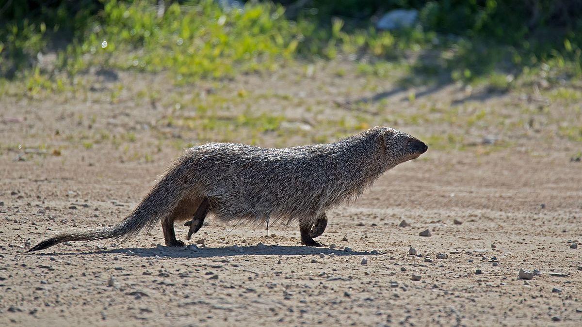 Mongoose - Herpestes ichneumon.jpg