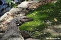 Monitor Lizard at Sungei Buloh Nature Reserve.jpg