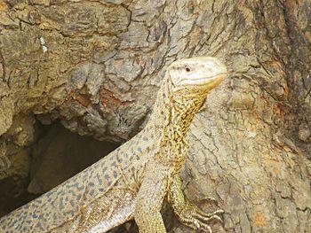 Monitor lizard @tadoba.jpg