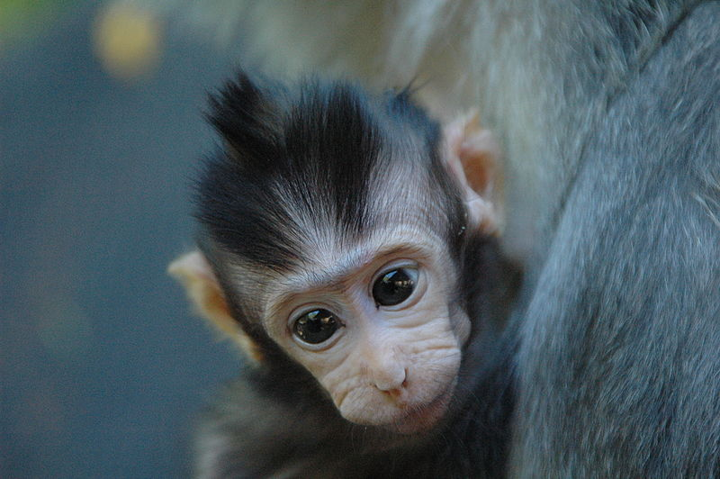 File:Monkey baby 3.jpg