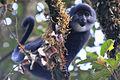 Mono de Preuss.jpg