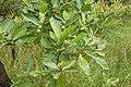 Morinda citrifolia 5808.jpg