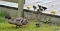 Mother Duck with Ducklings (15706103086).jpg