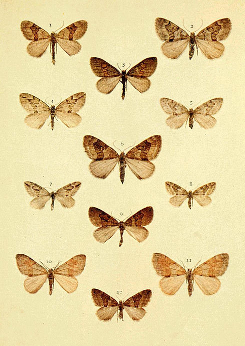 Moths of the British Isles Series2 Plate070.jpg