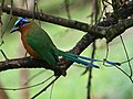 Motmot bird (Tobago 2009).jpg