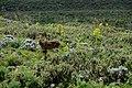 Mountain nyala, Bale Mountains National Park (7) (29259382326).jpg