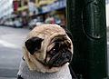 Mr Newman - the world's saddest dog (cropped).jpg