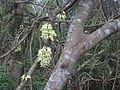 Mucuna birdwoodiana.jpg